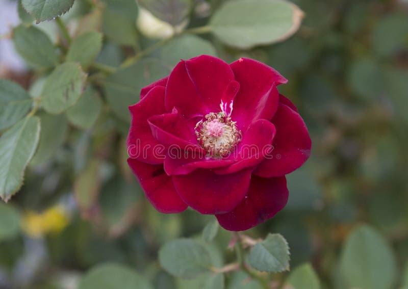 Rot-Rosenblüte der Nahaufnahmeansicht einzelne, Sorrent, Italien stockbild