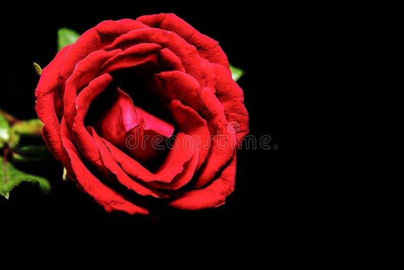 Rot stieg auf schwarzen Hintergrund Schöne Blüte mit dem Samtblumenblatt Klare Blumenfahnenschablone mit Textraum stockfotos