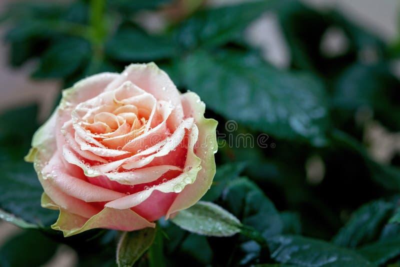 Rot und Blumennahaufnahmefoto der Orange rosafarbenes mit flacher Tiefe von stockfoto