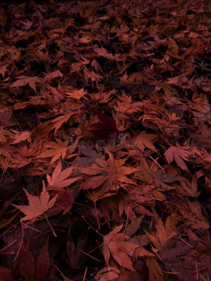 Rot und Brown Acer Autumn Leaves lizenzfreies stockfoto