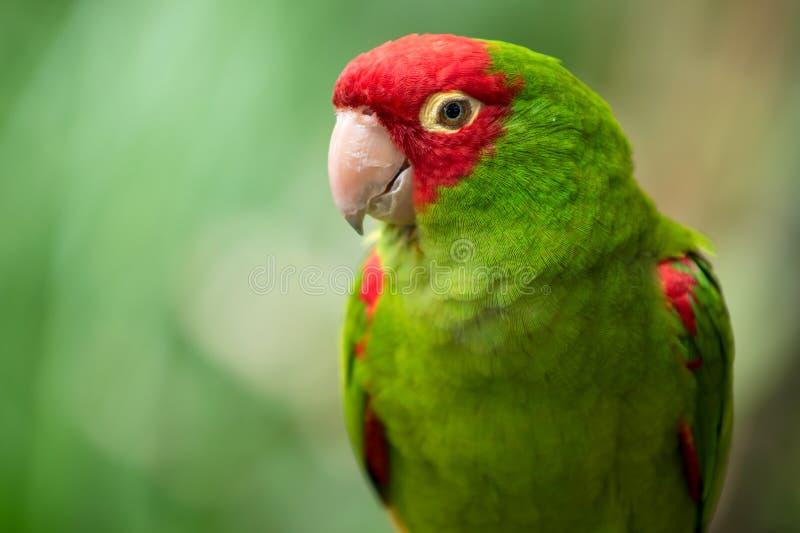 Rot- und Grünsittichpapagei lizenzfreies stockfoto