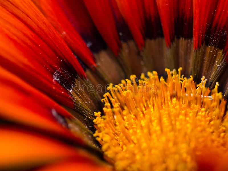 Rot- und Orangenblume Extreme Close Up mit Details und Pollen lizenzfreies stockbild