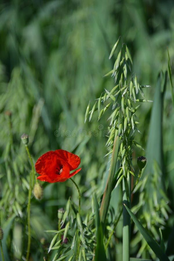 Rot und Weizen lizenzfreie stockfotos