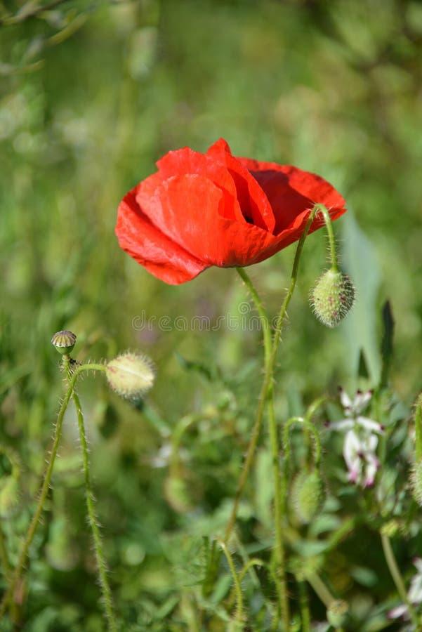 Rot unter Weizen stockfotos