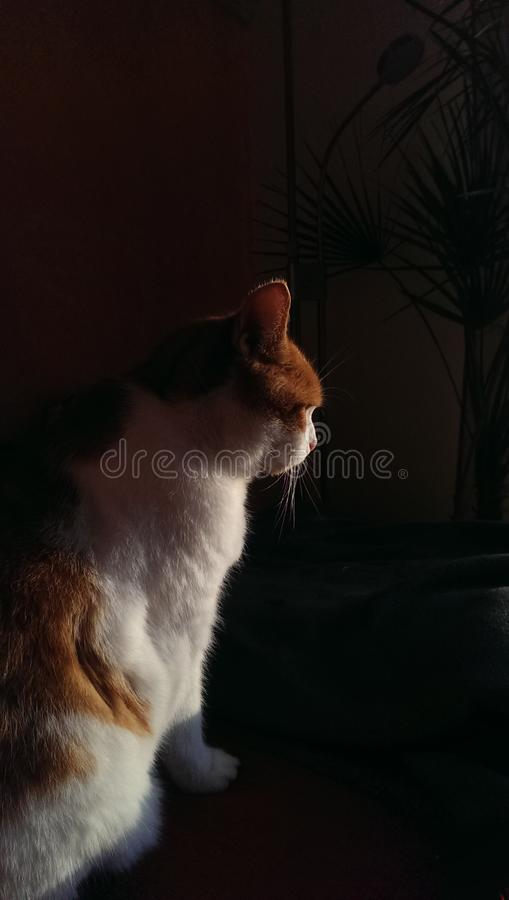 Rot-weiße Katze lizenzfreie stockbilder