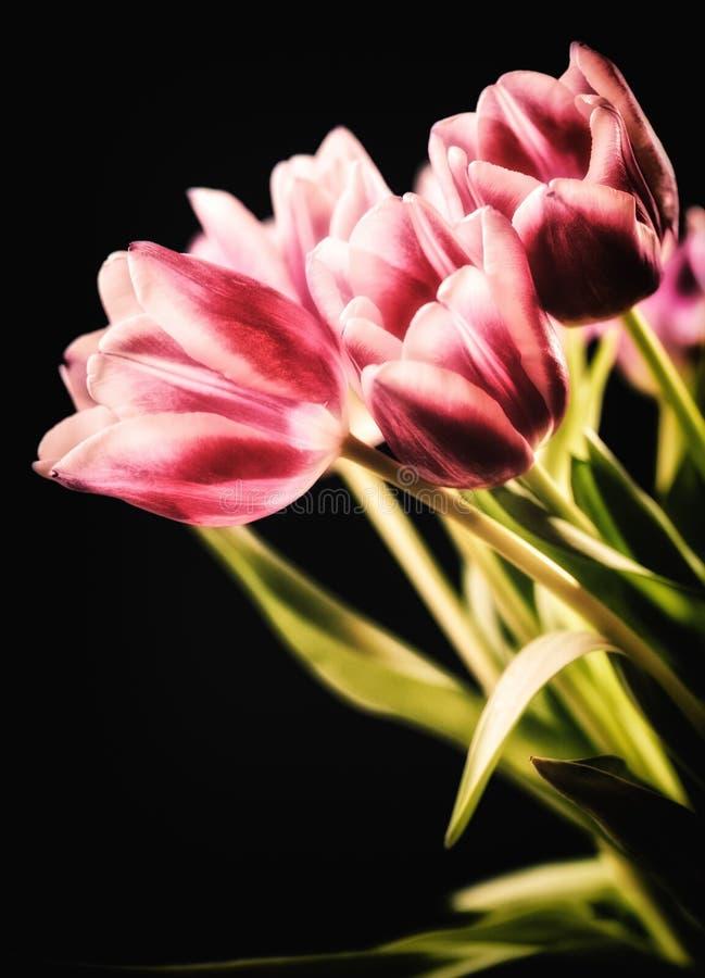 Rot-weiße Tulpen auf dem schwarzen Hintergrund stockfoto