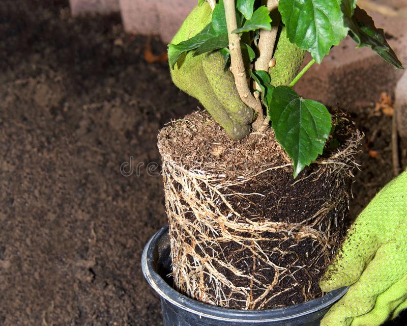 Rota den destinerade hibiskusväxten med behandskade händer i trädgård fotografering för bildbyråer
