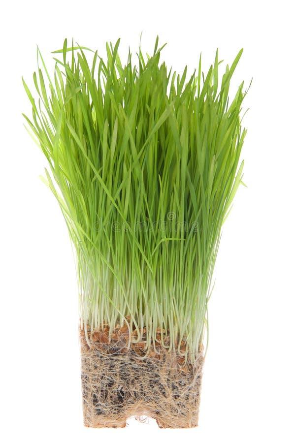 Rota destinerat vetegräs som isoleras på vit royaltyfri bild