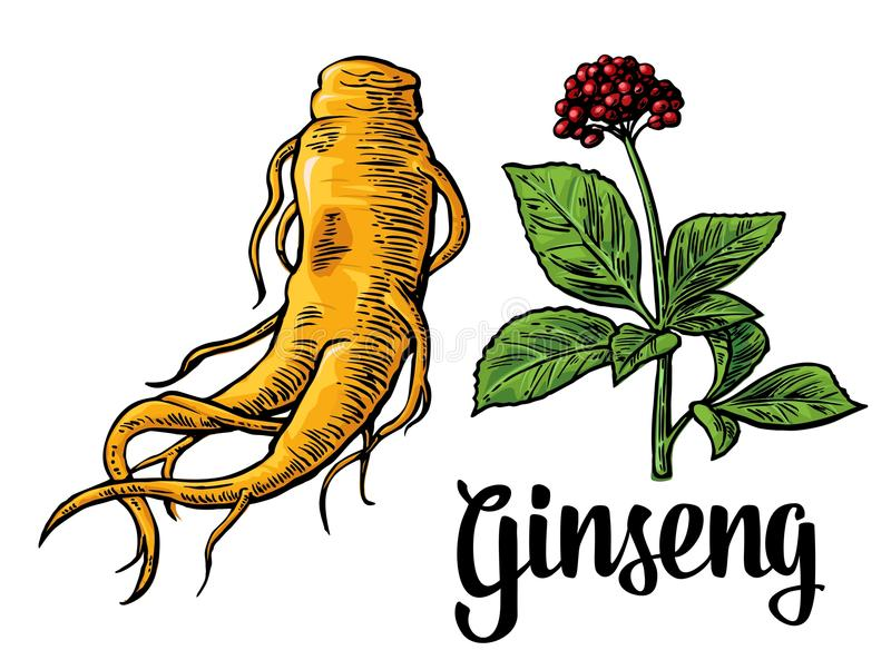 Rota och lämnar panax ginseng Färgrik gravyrillustration för vektor av medicinalväxter stock illustrationer