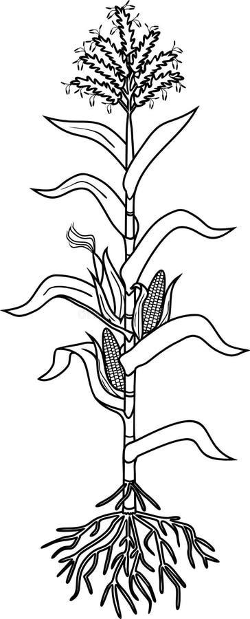 Rota systemet, mogna frukter, färga sidan med havremajsväxten med sidor royaltyfri illustrationer