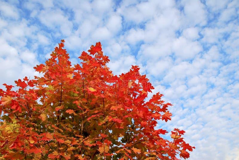 Rotahornbaum im Herbst stockfotografie