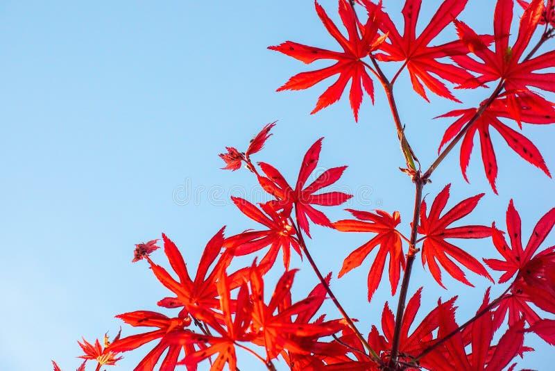 Rotahornblätter auf Hintergrund des blauen Himmels stockfoto