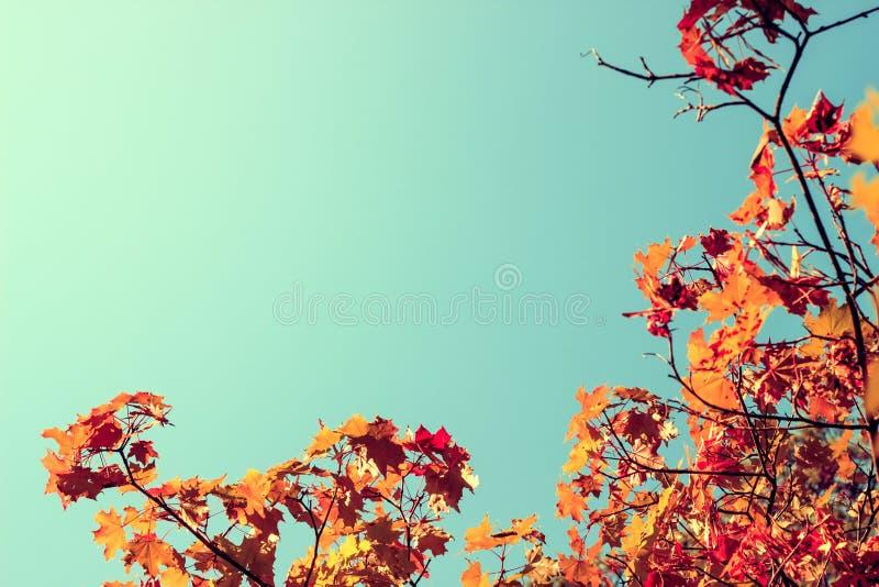 Rotahornblätter, Herbstrahmen, goldener Herbst Raum f?r Text Abbildung der roten Lilie stockfotos