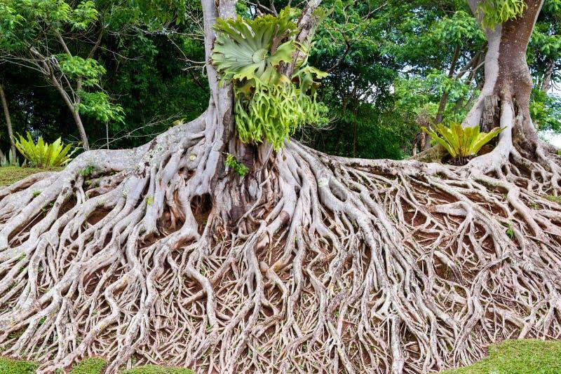 Rotar av det gamla trädet, ett fantastiskt kaos arkivfoto