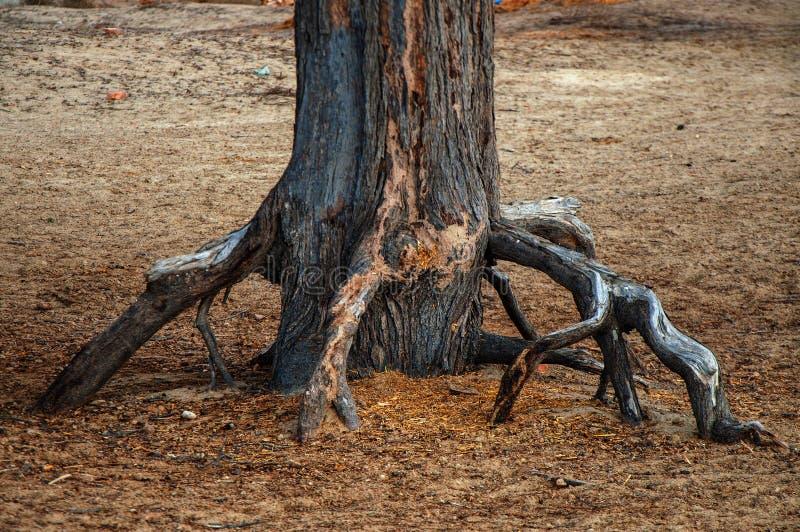 Rotar av det torkade trädet i öken royaltyfri bild