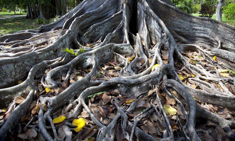 Rotar av en fikonträd royaltyfria foton
