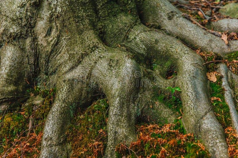 Rotar av en gammal bokträd arkivbilder