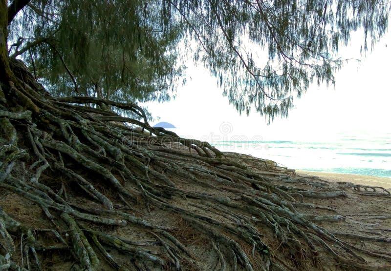 Rotar av ett träd på sanden av stranden arkivfoton