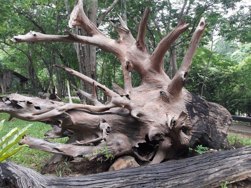Rotar av stora träd i skogen royaltyfri bild