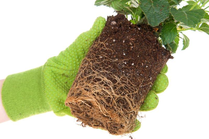 Rotar det behandskade för lantanablomman för handen innehavet lade in gula växten, destinerat arkivfoto
