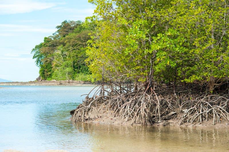 Rotar och filialer, mangroveskog av Thailand royaltyfri foto