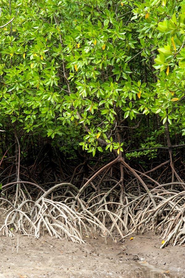Rotar och filialer, mangroveskog av Thailand royaltyfria bilder