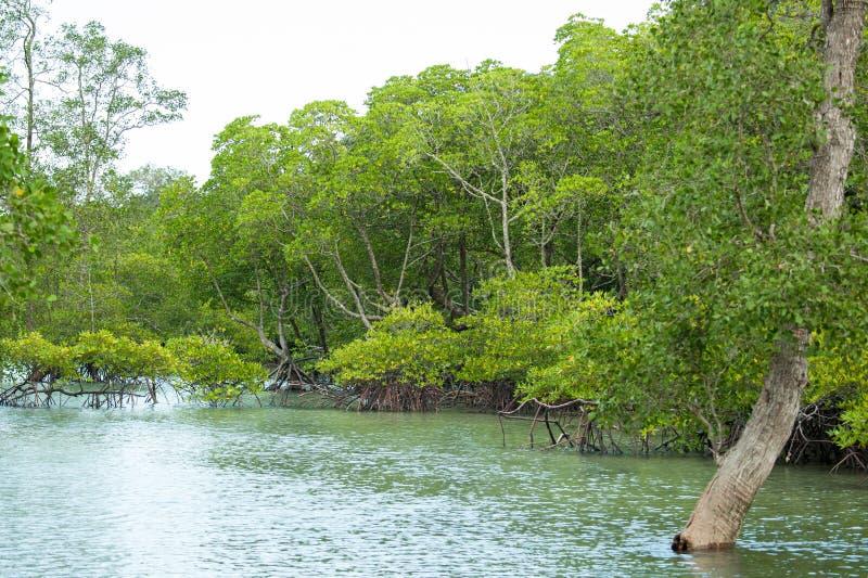Rotar och filialer, mangroveskog av Thailand royaltyfri bild