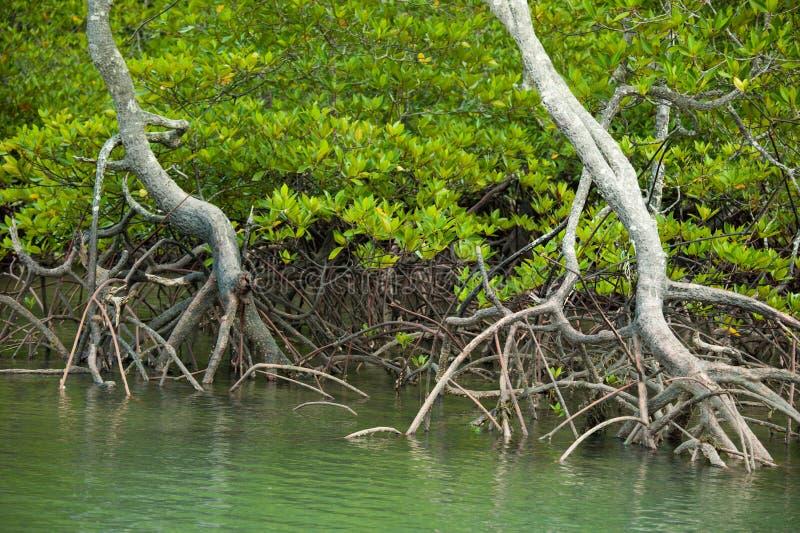 Rotar och filialer, mangroveskog av Thailand arkivfoto
