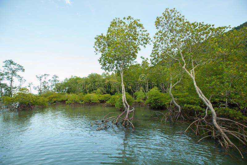 Rotar och filialer, mangroveskog av Thailand arkivbilder