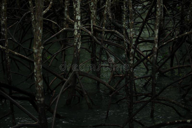 Rotar och filialer, mangroveskog av Thailand arkivfoton