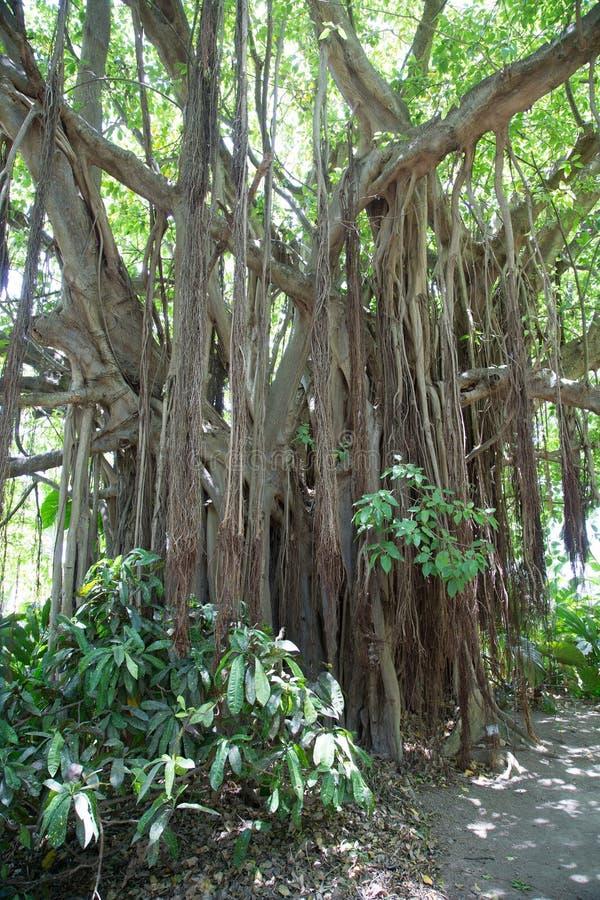 Rotar på Banyanträd arkivbilder