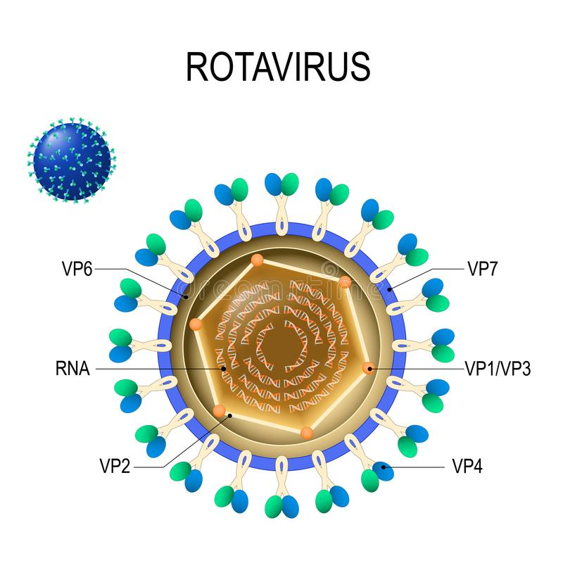 Rotavirus anatomy. Vector diagram of the location of rotavirus structural proteins vector illustration