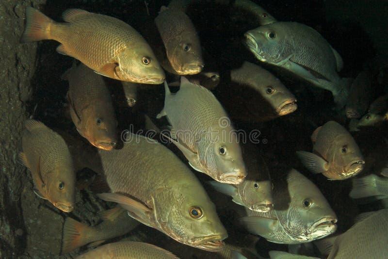 Rotbarschfische stockbilder
