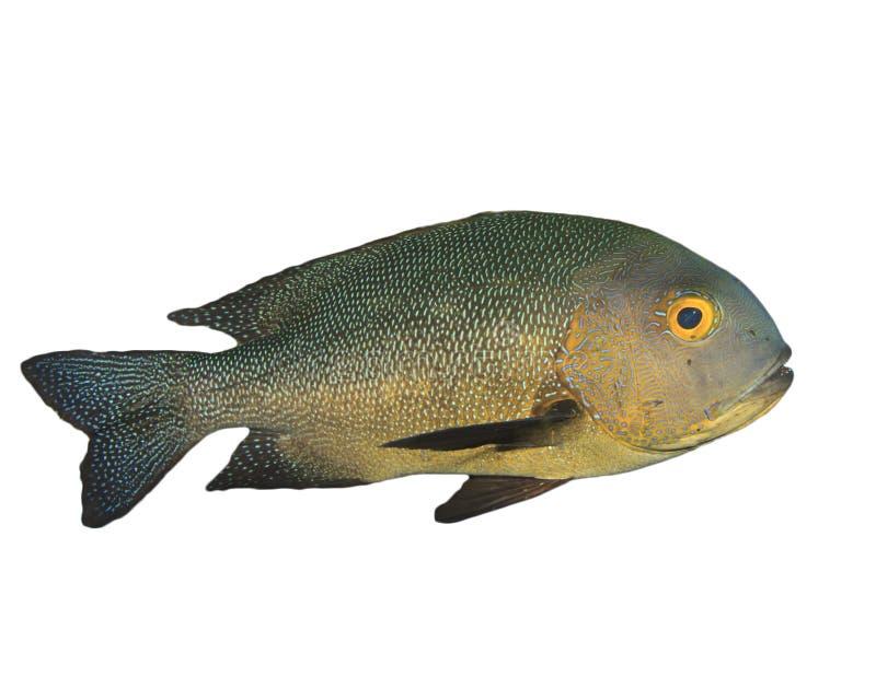 Rotbarschfische lokalisiert auf Weiß stockfotos