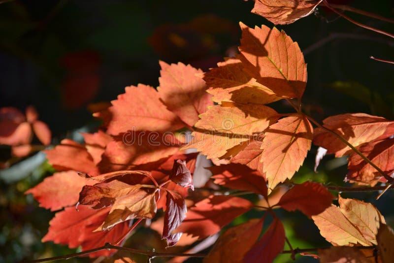 Rotblätter auf einem dunklen Hintergrund Herbst lizenzfreies stockbild