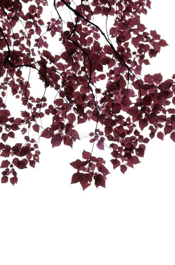 Rotblätter getrennt auf weißem Hintergrund lizenzfreies stockfoto