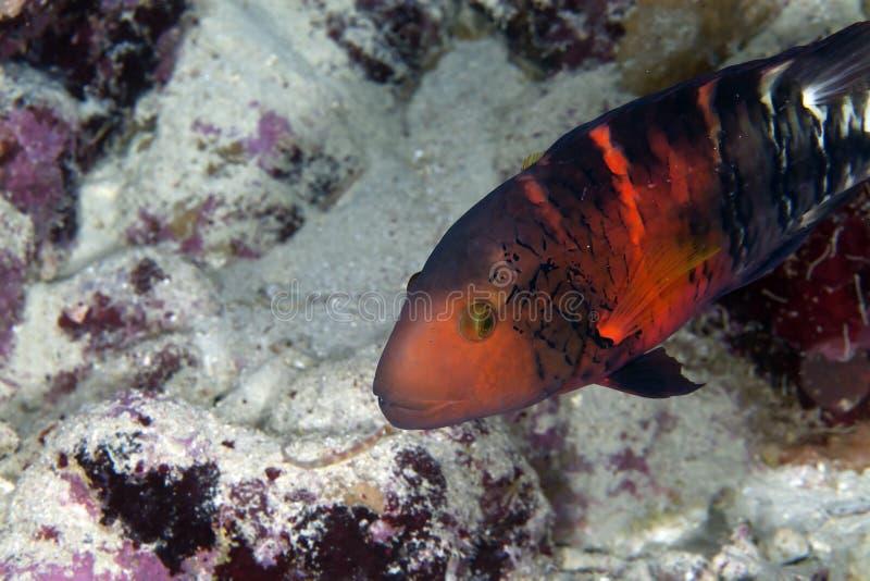 Rotbrüstiger Pracht Wrasse in De-Rotem Meer. lizenzfreie stockbilder