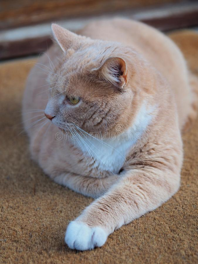 Rotbraune Katze, die Umgebungen beobachtend lizenzfreies stockfoto