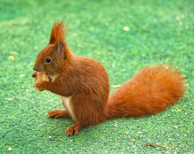 Rotbraunes Eichhörnchen sitzt auf dem Gras und isst mit Geschmack sein Stück des Sandwiches, das er gerade fand lizenzfreie stockbilder
