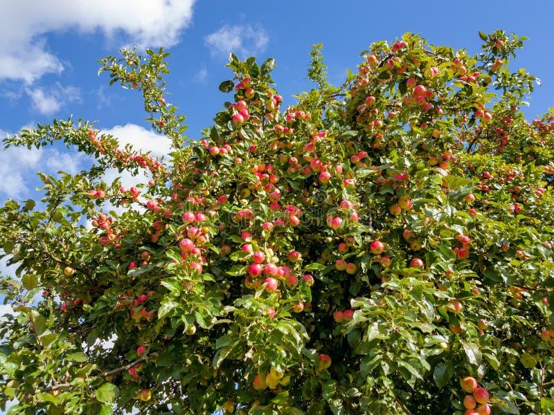 Rote Äpfel auf Apfelbaumast lizenzfreie stockbilder