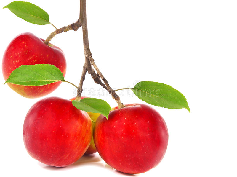 Rote Äpfel auf Apfelbaumast stockfotografie