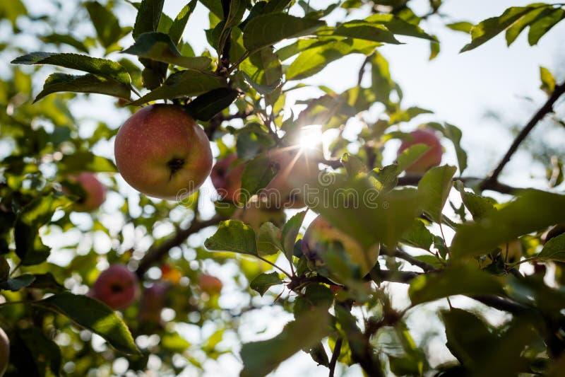Rote Äpfel auf Apfelbaumast stockbild