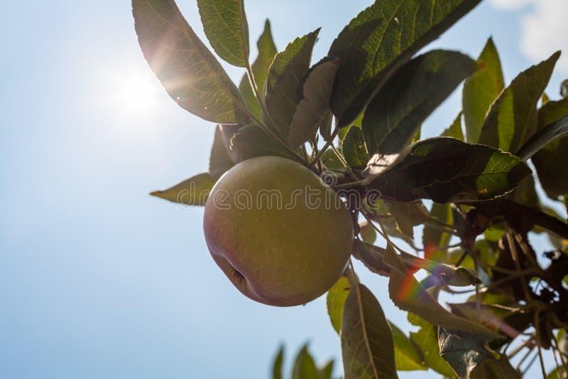 Rote Äpfel auf Apfelbaumast stockfotos