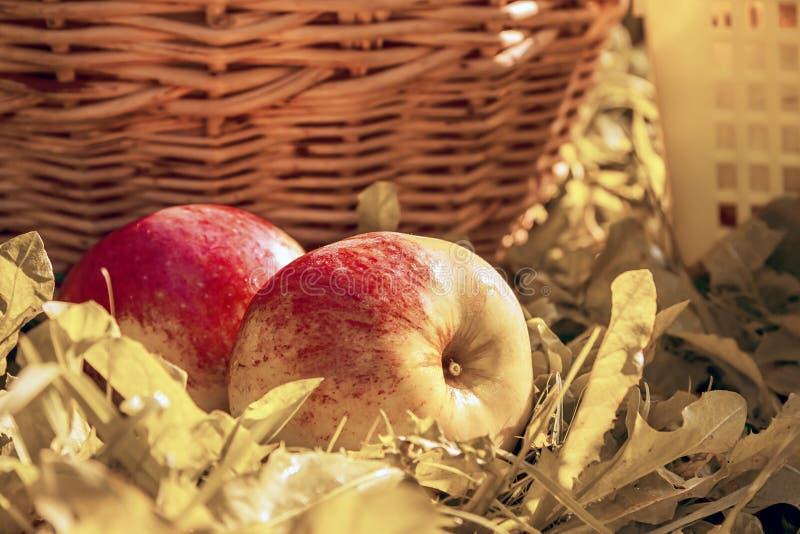 Rote Äpfel der Frucht auf einem Gras, Erntedankfest stockfotos