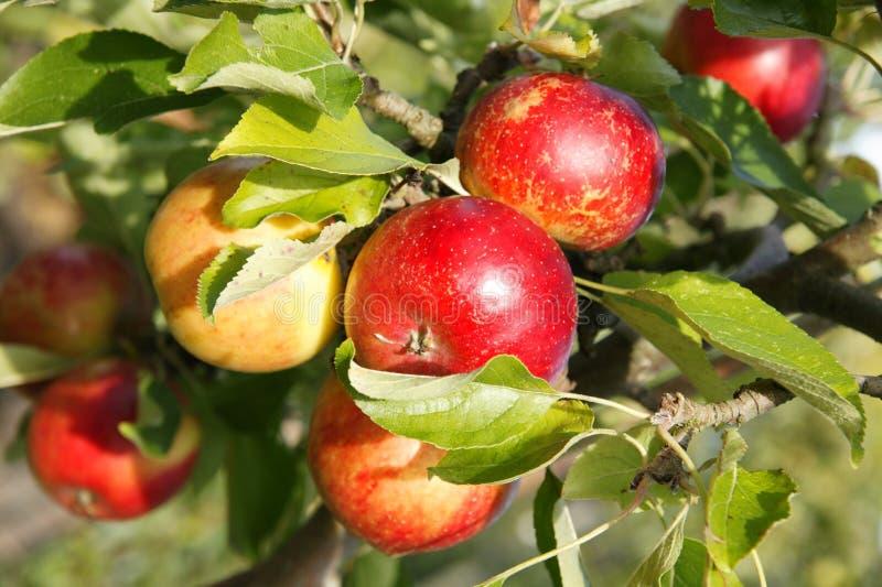 Rote Äpfel in einem Obstgarten stockfotos