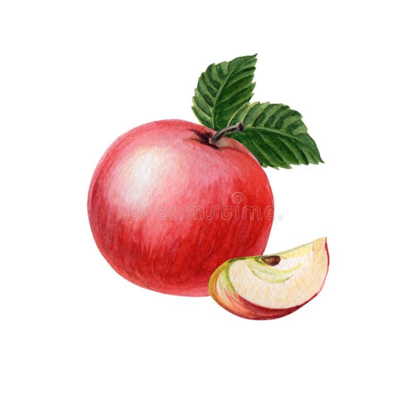 Rote Äpfel mit Stück, grüne Blätter auf einem weißen Hintergrund Sommer, Herbst lizenzfreie abbildung