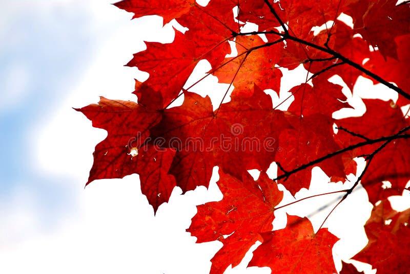 Rote Ahornblätter stockfoto