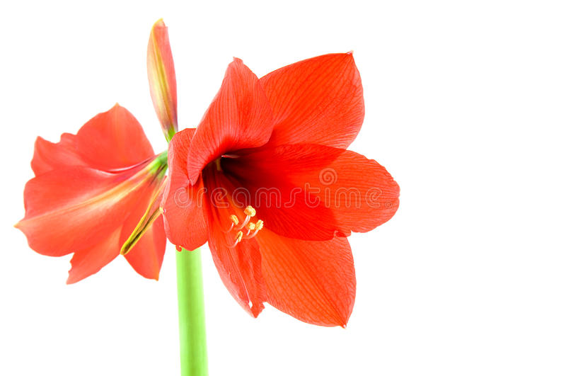 Rote Amaryllis stockbilder
