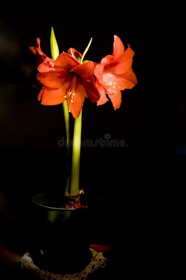 Rote Amaryllis stockbild