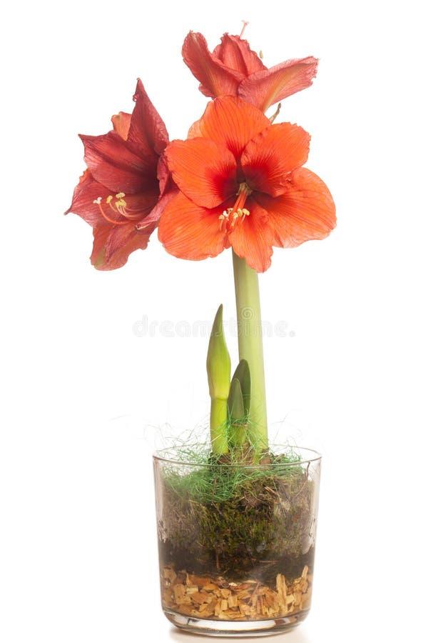 Rote Amaryllis-Blume, mehrfache Blüten, lokalisiert auf Weiß lizenzfreies stockfoto